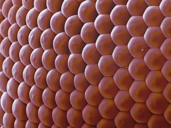 Compound Eyes Photograph - Insect Compound Eye by Martin Oeggerli/science Photo Library