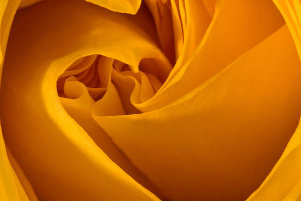 Photograph - Inside A Yellow Rose by  Onyonet  Photo Studios
