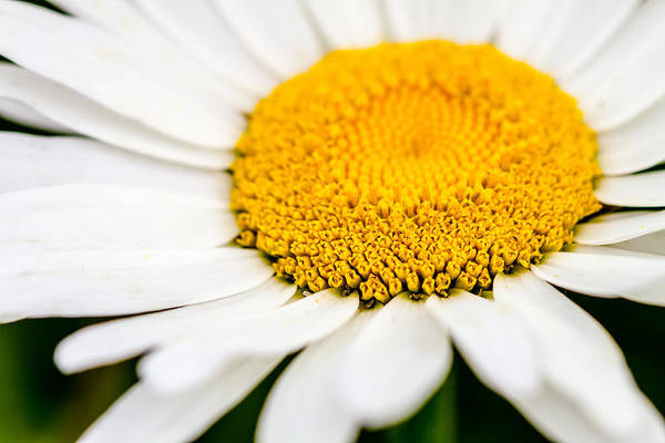Photograph - Inside The Daisy by Teri Virbickis