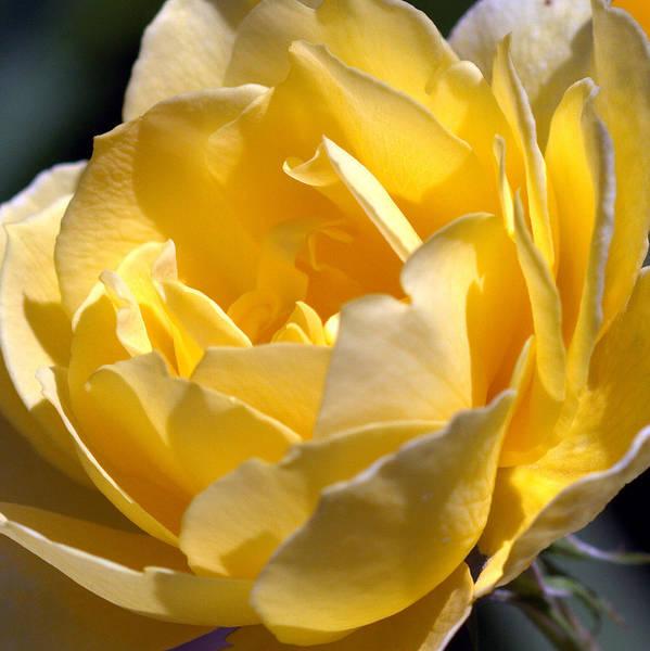 Inside The Yellow Rose Art Print