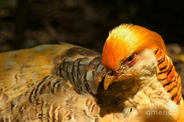 Photograph - Intense Golden Pheasant by Adam Jewell