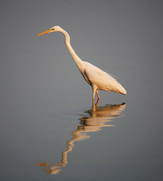Wading Photograph - Intermediate Egret Wading In Water by Christer Fredriksson
