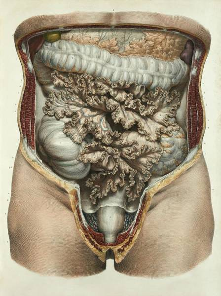 Internal Organs Photograph - Intestines And Mesentery by Science Photo Library