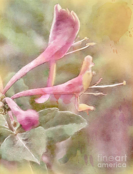 Lonicera Photograph - Into The Light by Betty LaRue