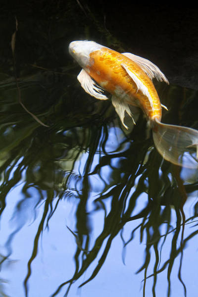 Koi Photograph - Into The Rushes II by Rebecca Cozart