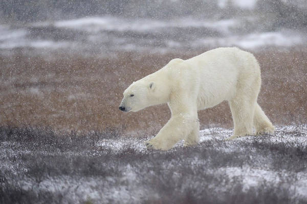 Polar Bear Photograph - Into The Storm by Marco Pozzi