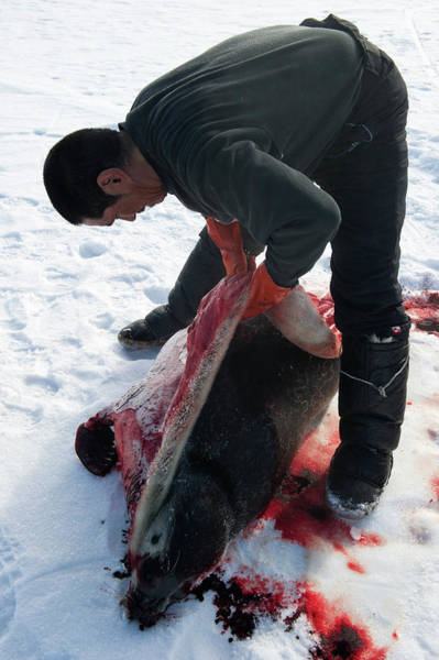 Wall Art - Photograph - Inuit Hunter Butchering A Seal by Louise Murray