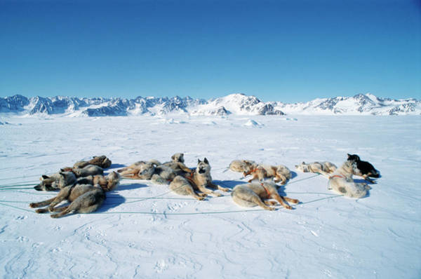 Wall Art - Photograph - Inuit Husky Dogs by Simon Fraser/science Photo Library