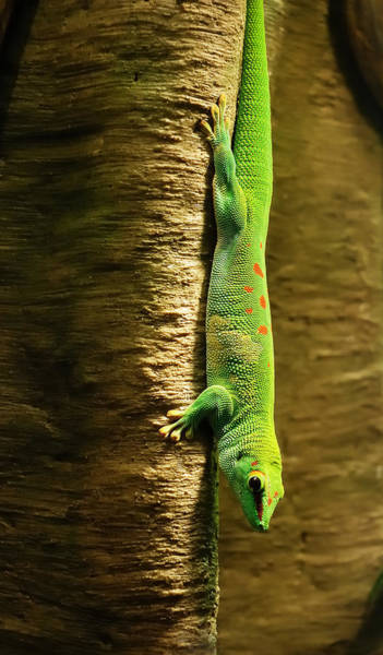 Tree Climbing Photograph - Inverted Gecko by Jim Hughes