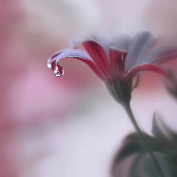 Romantic Flower Wall Art - Photograph - Invisible Touch... by Juliana Nan