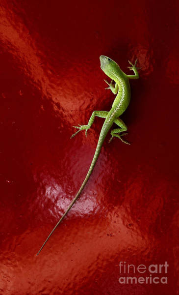 Green Anole Photograph - Lizard On Red Fender by Robert Frederick