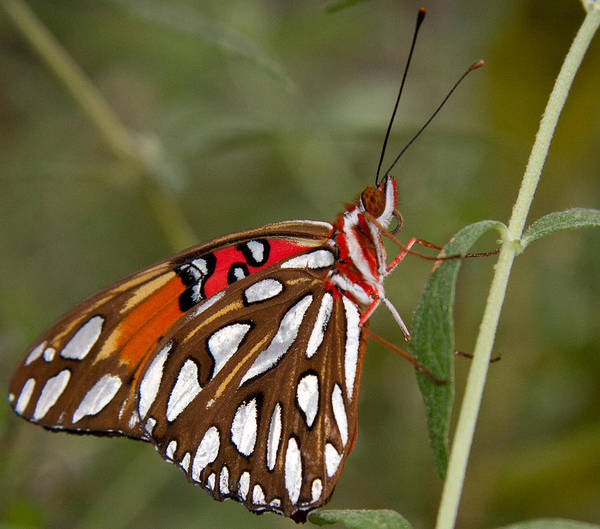 Photograph - Iridescent Butterfly by Natalie Rotman Cote