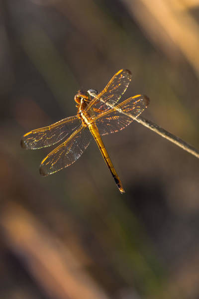 Photograph - Iridescent Dragonfly Wings by Ed Gleichman