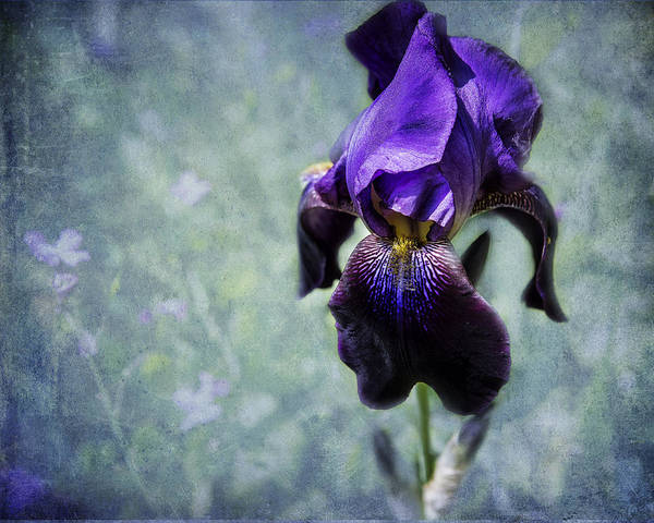 Iris - Purple And Blue - Flowers Art Print
