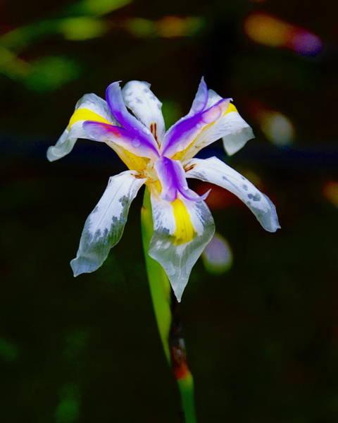 Photograph - Iris 2012 by Ben Upham III