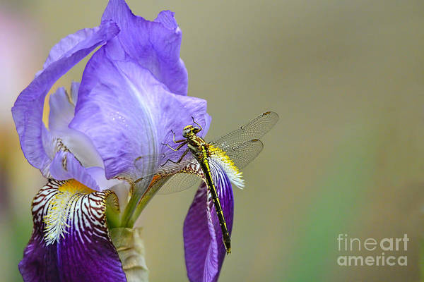 Photograph - Iris And The Dragonfly 2 by Jai Johnson