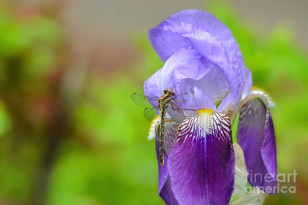 Photograph - Iris And The Dragonfly 5 by Jai Johnson
