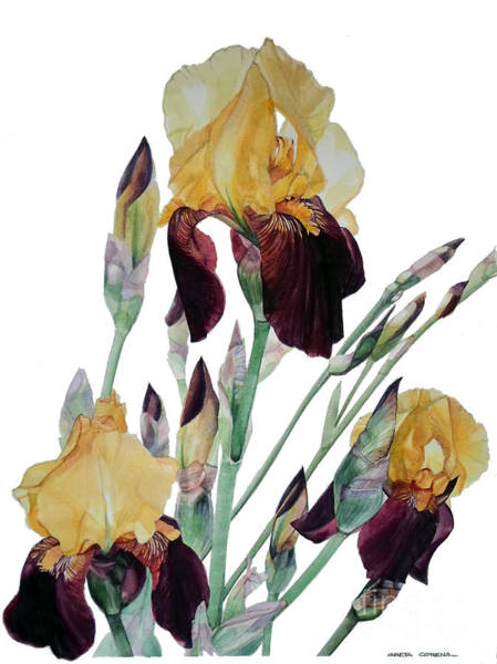 Painting - Watercolor Of Tall Bearded Iris In Yellow And Maroon I Call Iris Beethoven by Greta Corens