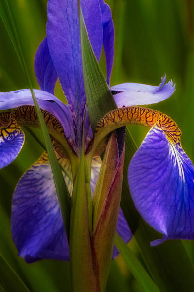 Photograph - Iris Blues by Bill Wakeley
