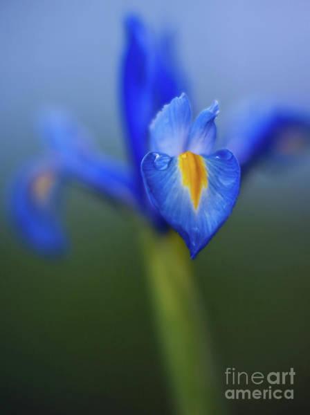 Iris Photograph - Iris Blues by Mike Reid