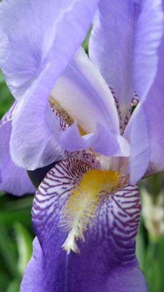 Photograph - Iris Close Up 3 by Anita Burgermeister