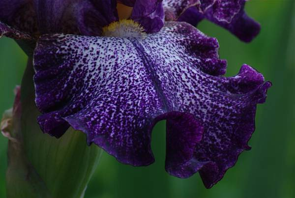 Iris Closeup Art Print
