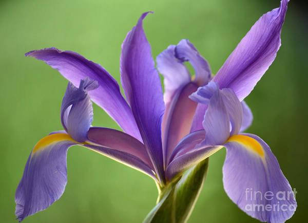Fleur De Lis Photograph - Iris Elegance by Deb Halloran