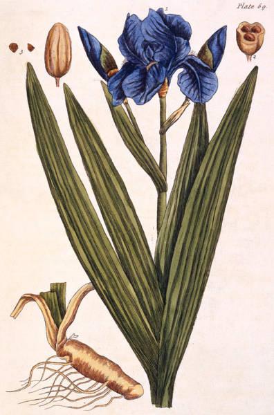 Violet Painting - Iris by Elizabeth Blackwell