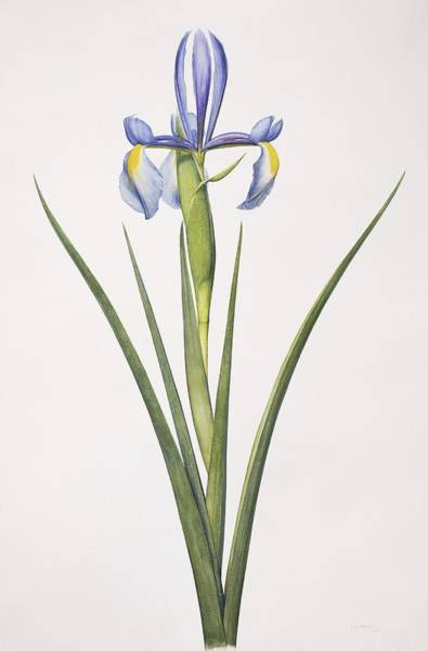 Wall Art - Photograph - Iris Flower by Natural History Museum, London/science Photo Library