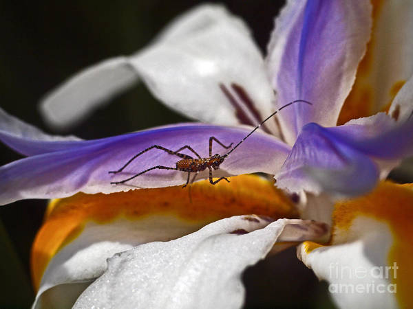 Morea Wall Art - Photograph - Iris Flower With Bug by Howard Stapleton