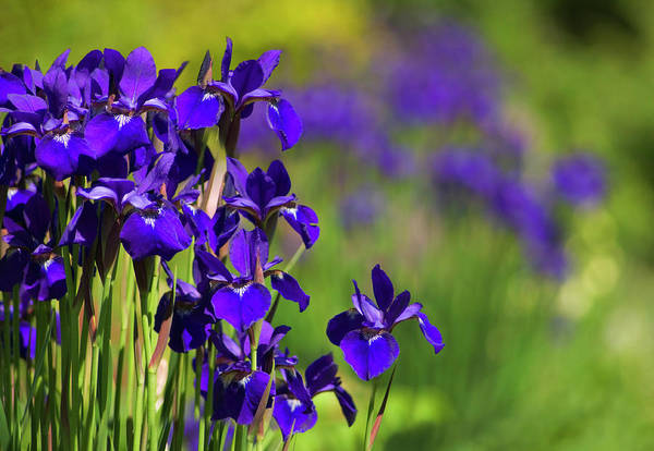 Perennial Photograph - Iris Flowers (iris Sp.) by Maria Mosolova/science Photo Library