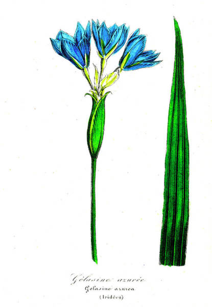 1855 Photograph - Iris (gelasine Azurea) by Collection Abecasis/science Photo Library