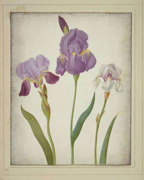 Wall Art - Photograph - Iris Germanica And Pallida by Natural History Museum, London/science Photo Library