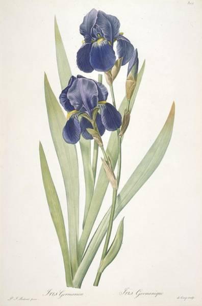 Botanical Painting - Iris Germanica Bearded Iris by Pierre Joseph Redoute