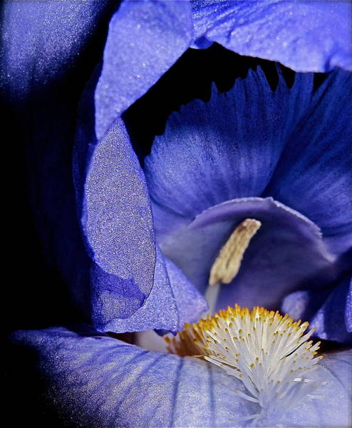 Photograph - Iris I by Kim Pippinger