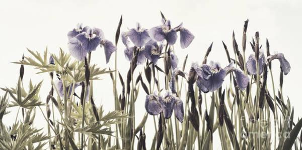 Blume Photograph - Iris In The Park by Priska Wettstein