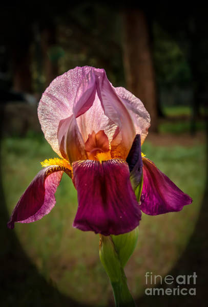 Bisexual Photograph - Iris In The Spotlight by Robert Bales