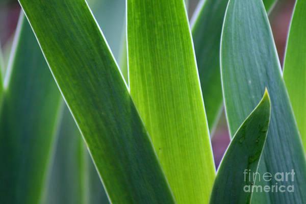 Photograph - Iris Leaves by Karen Adams