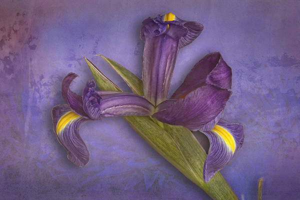 Photograph - Iris Number Five by Bob Coates