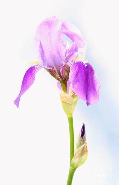 Photograph - Iris On A Sunny Day by Steve Augustin