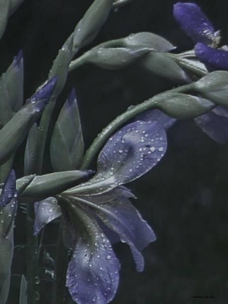 Photograph - Iris Rain by Barbara St Jean