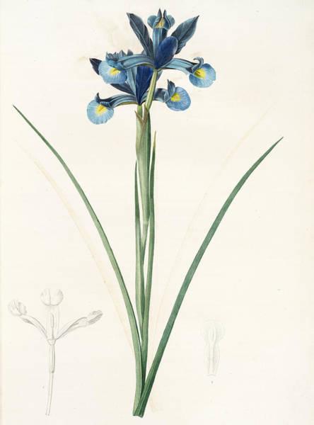 Magical Drawing - Iris Xiphium, Iris Xiphium Iris Xiphium Spanish Iris by Artokoloro