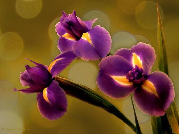 Photograph - Irises And Bokeh by Grace Dillon