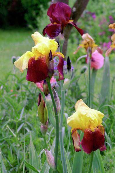 Accent Photograph - Irises (iris Germanica 'accent') by Brian Gadsby/science Photo Library