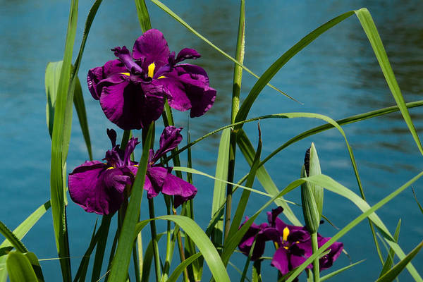 Photograph - Irises On The Water by Penny Lisowski