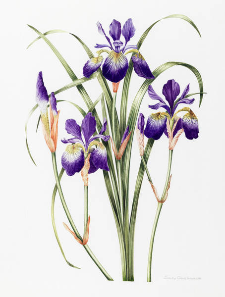 Violet Painting - Irises by Sally Crosthwaite