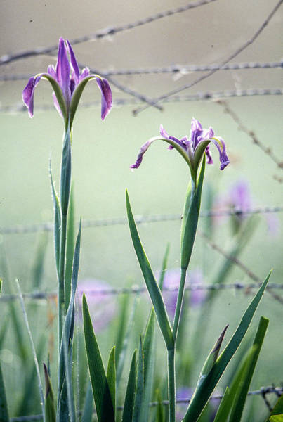 Photograph - Irises2 by Matthew Pace