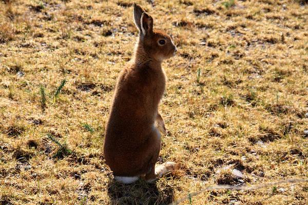Photograph - Irish Mountain Hare by Aidan Moran