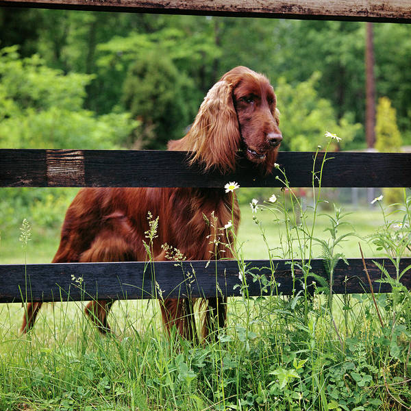 Setters Photograph - Irish Setter Dog Looking Over Wooden by Animal Images