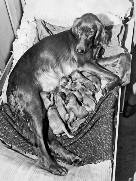 Weary Photograph - Irish Setter With 12 Puppies by Underwood Archives